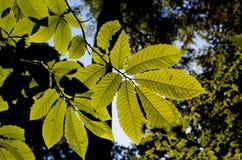 Chestnut leaf against sun Stock Photo