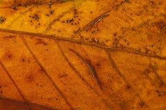 Chestnut leaf in autumn background. Macro shot of backlit chestnut leaf in fall stock photo