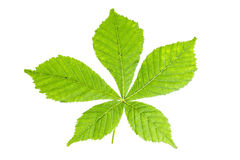 Chestnut leaf Royalty Free Stock Image