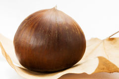 Chestnut (on the leaf). Chestnut on the brown leaf stock photography