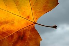 Chestnut leaf detail. Detail of back lit orange red chestnut autumn leave against dark grey sky Stock Images