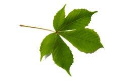 Chestnut leaf. Horse chestnut leaf isolated on white background Royalty Free Stock Photography