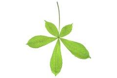 Chestnut leaf Stock Images