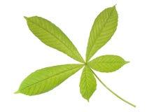 Chestnut leaf Royalty Free Stock Photo