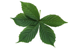 Chestnut leaf Royalty Free Stock Photo