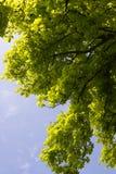 Chestnut leaf on sky Royalty Free Stock Image