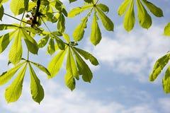 Chestnut leaf on sky Stock Image