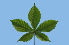 Chestnut Leaf On Sky. Detail of chestnut leaf agaist blue sky royalty free stock image