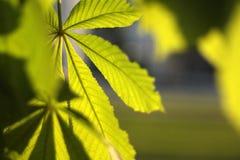 Chestnut leaf. In a sun light Stock Images