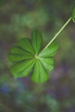 Chestnut. Leaf of a chestnut tree in early spring royalty free stock images