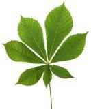 Chestnut. Leaf chestnut on white background. Clipping path stock photo