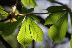 Chestnut leaf. Young chestnut leaves. Spring in the park. The natural environment stock photography