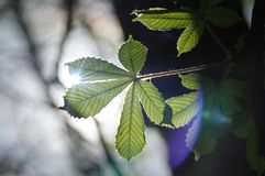 Chestnut leaf. Young chestnut leaves. Spring in the park. The natural environment stock photo