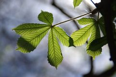 Chestnut leaf. Young chestnut leaves. Spring in the park. The natural environment stock images