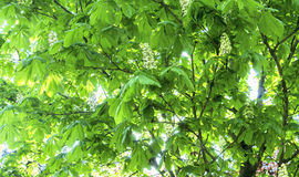 Chestnut leafs. With sunny background Royalty Free Stock Images