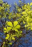 Chestnut leaves Stock Photos