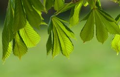 Chestnut leaves Stock Image