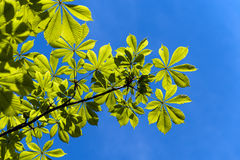 Chestnut leaves Royalty Free Stock Images