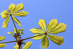 Chestnut leaves Royalty Free Stock Photos
