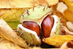 Chestnut on leaves Stock Image