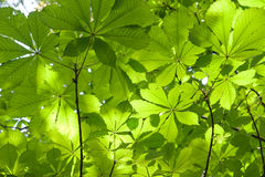 Chestnut leaves. In sun rays royalty free stock photos