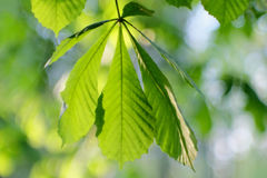 Chestnut Leaves Stock Photo