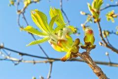Chestnut leaves Royalty Free Stock Photo