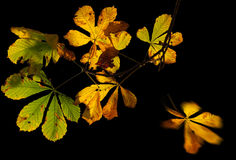 Chestnut leaves in autumn. Isolated fading chestnut leaves in autumn colours Royalty Free Stock Image