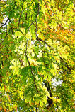 Chestnut leaves on autumn sunbeam Royalty Free Stock Photos