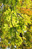 Chestnut leaves on autumn sunbeam. In park Royalty Free Stock Image