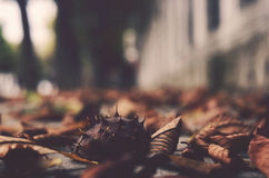 Chestnut and leaves, autumn Royalty Free Stock Image