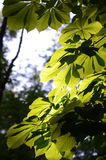 Chestnut leaves with defocused background Stock Photos