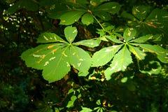 Chestnut leaves. Green leaves of chestnut in the sun stock images