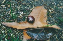 Chestnut on leaves Stock Image
