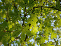 Chestnut leaves Stock Photography