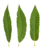 Chestnut leaves Royalty Free Stock Photography