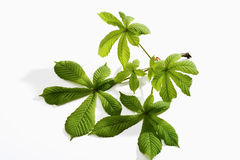 Chestnut leaves, twig. On white background stock photography