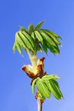Chestnut leaves which dissolved Royalty Free Stock Image