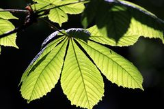 Chestnut leaves. Young leaves of chestnut on a dark background royalty free stock image