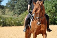 Chestnut Lusitano Stallion. A chestnut lusitano stallion being ridden in Portugal Stock Image