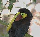 Chestnut mandibilled toucan Royalty Free Stock Images