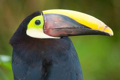 Chestnut-mandibled Toucan Stock Photos
