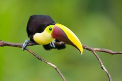 Chestnut-mandibled Toucan, from Central America. stock photography