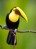 Chestnut-mandibled Toucan, from Central America. Stock Images