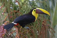 Chestnut-mandibled Toucan - Panama. Chestnut-mandibled Toucan (Rostrhamus sociabilis) perched in a tree in the rainforest - Panama royalty free stock images