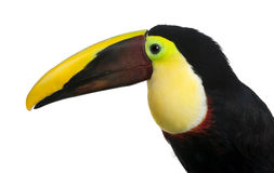 Chestnut-mandibled Toucan - Ramphastos swainsonii Stock Image
