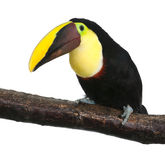 Chestnut-mandibled Toucan - Ramphastos swainsonii. Chestnut-mandibled Toucan or Swainson�s Toucan - Ramphastos swainsonii (3 years) in front of a white royalty free stock photography