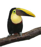 Chestnut-mandibled Toucan - Ramphastos swainsonii Royalty Free Stock Photos