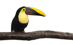 Chestnut-mandibled Toucan - Ramphastos swainsonii. Chestnut-mandibled Toucan or Swainson�s Toucan - Ramphastos swainsonii (3 years) in front of a white stock photography