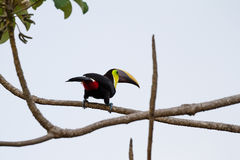 Chestnut mandibled toucan. Wild chestnut mandibles toucan perched on a tree branch in the Costa Rica south pacific royalty free stock photo